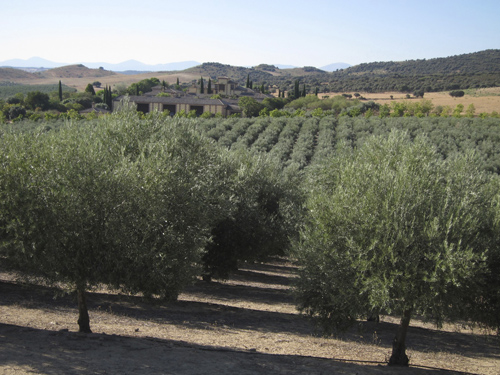 Casas Hualdo olive tree cultivation Virgin Extra Olive oil