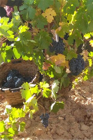 viñas uva tempranillo tinta del país vino