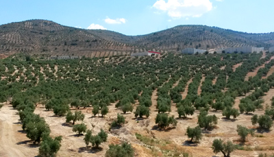 production olive areas spain