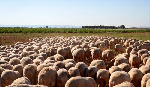 quesos de Tomelloso, ovejas pastando