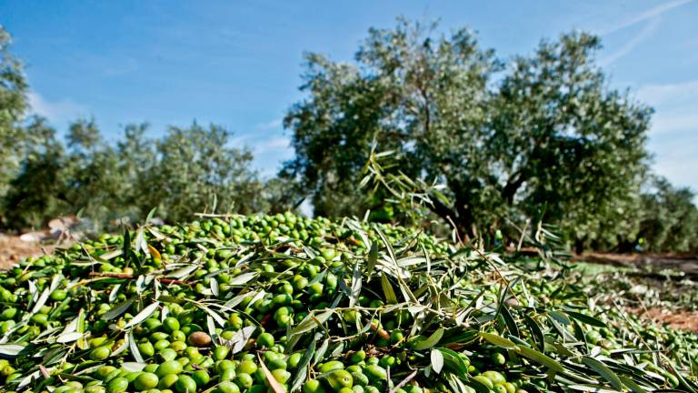 Raccolta delle olive Arbequina hojiblanca picual oro bailen