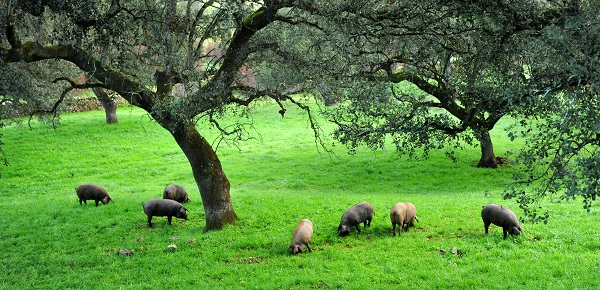 where pigs are bred pastures