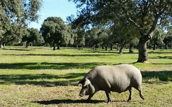 history evolution iberico pig ham beher guijuel