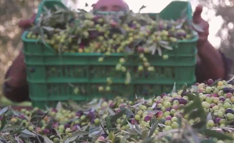 oliva arbequina olio d'oliva más tarres