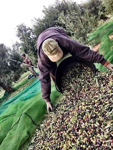 Arbequina d'oliva raccoglie olio más tarrés