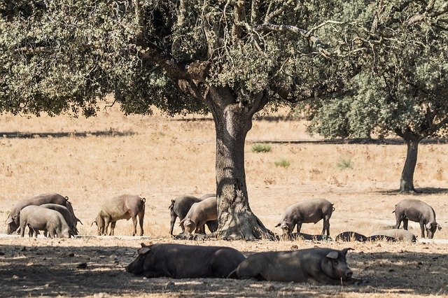 factors influence Iberian meat quality