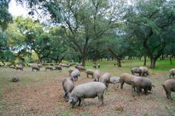 Elaboracion y curacion del jamón iberico bellota pata negra de extremadura